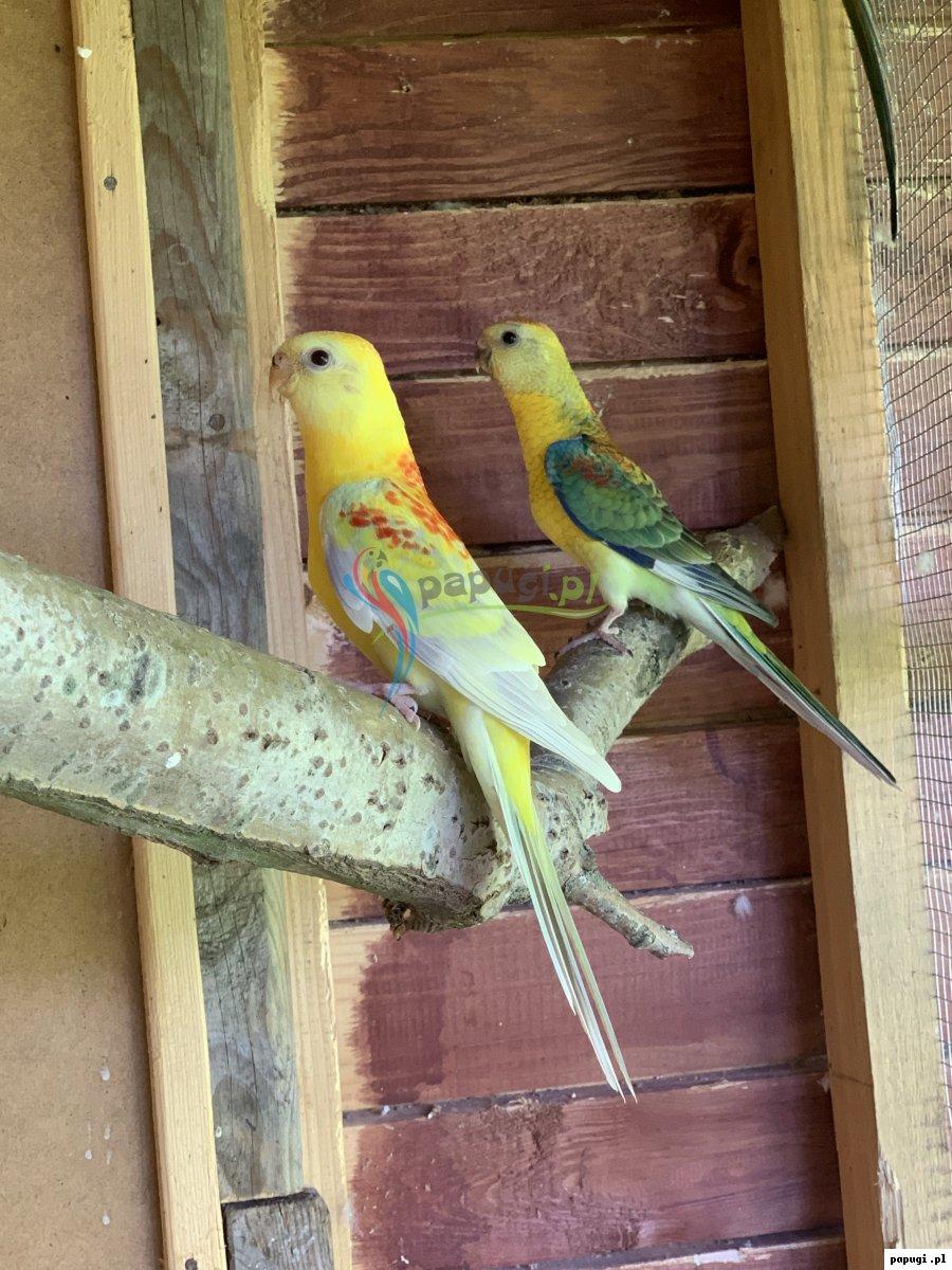 Papugi świergotki